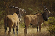 Male and female giant elands