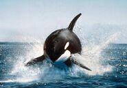 Orca6