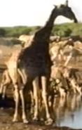 RWA Giraffe