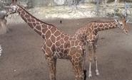 San Antonio Zoo Giraffes