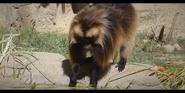 San Diego Zoo Gelada