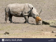Southern-white-rhinowith-his-close-friend red river hog-FGMHC4
