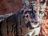 Dariyon the Clouded Leopard