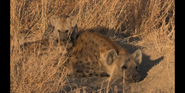 CITIRWN Hyenas