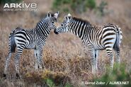 Grants-zebra-foal-social-behaviour