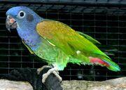 Parrot, blue-headed