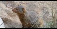 San Diego Zoo Mongoose