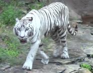 Tampa Safari Tiger
