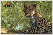 Afrika ps3 leopard close up by scottslive21-da4dng8