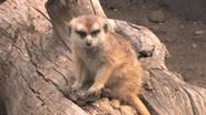 Forth Worth Zoo Meerkat