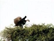 HugoSafari - Vulture03