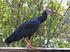 Southern Bald Ibis RWD3
