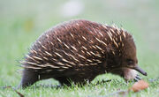Tachyglossus aculeatus side on