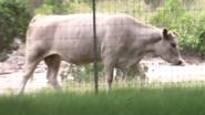Natural Bridge Wildlife Ranch Cow