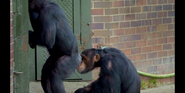 TSLoTZ Chimpanzees