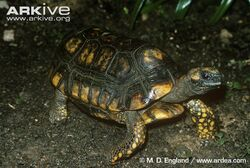 South-American-yellow-footed-tortoise