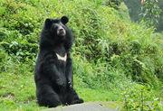 Bear, Himalayan Black