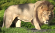 Disney's Animal Kingdom Lion