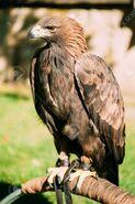 Golden Eagle (Aquila chrysaetos)