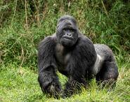 Gorilla, Mountain