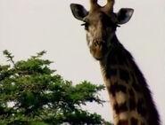 HugoSafari - Giraffe09