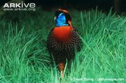 Male-Temmincks-tragopan-in-grass