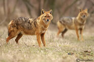 Male and female golden jackals