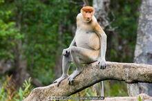 P monkey
