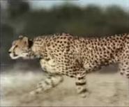 Really Wild Animals Cheetah