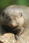 Dwarf Mongoose LG