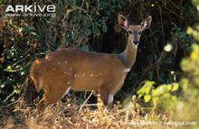 Female-bushbuck-stood-amongst-vegetation