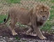 Fresno Zoo Lion