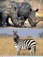White Rhinoceroses and Plains Zebras