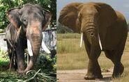 Aardvarks Anteaters Armadillos Elephants Hippopotamuses Rhinoceroses Whales