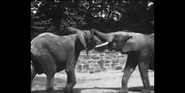 Bronyx Zoo African Elephants