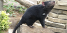 Columbus Zoo Tasmanian Devil