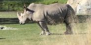 Fresno Zoo White Rhino