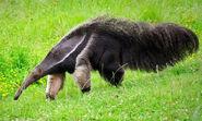 Img anteater mw large