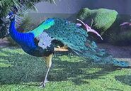 Indian Peafowl ZTX