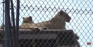 Oklahoma City Zoo Lions