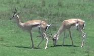 San Diego Zoo Safari Park Gazelles 2