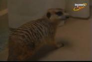 Scout's Safari Meerkat