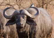 Serengeti Bueffel1