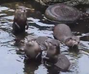 Woodland Park Zoo Otters