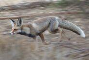 Arabian Red Fox2