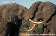 Mature-male-African-elephants-bonding
