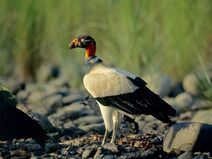 Vulture, King
