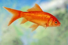 130952-847x567r1-Ordinary-goldfish