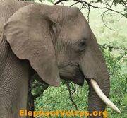 Another ElephantVoice