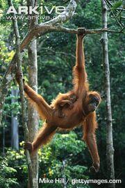 Bornean-orangutan-female-with-infant